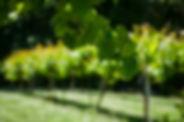 Vineyard 1245256-pxhere.com.jpg