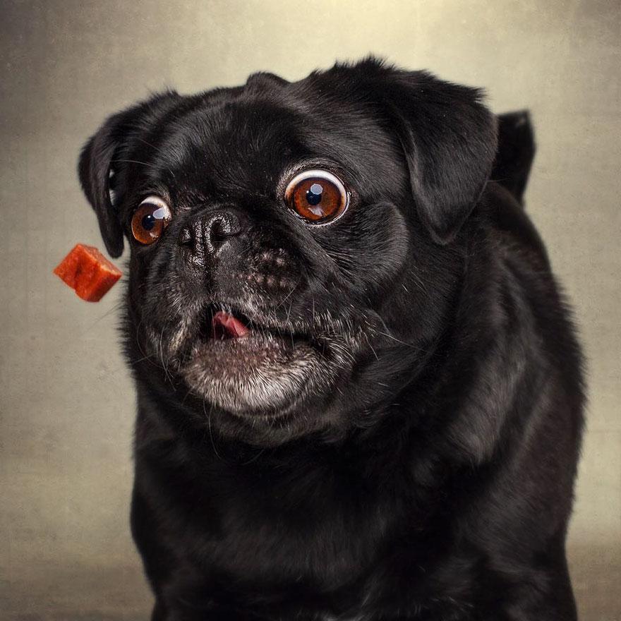 Paul the Pug