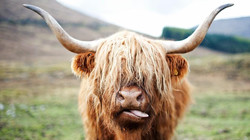 Funny Cow Steer