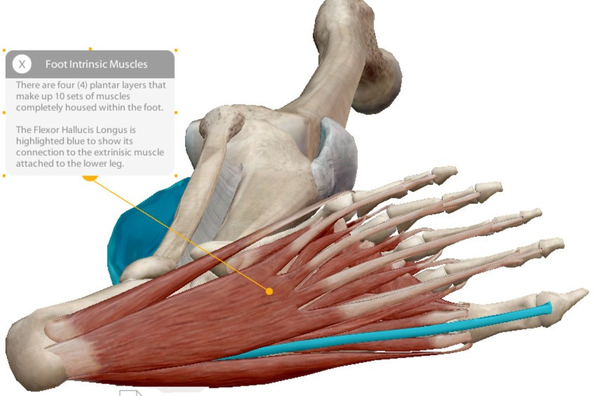 Graphic of the four layers of plantar muscles made up of 10 sets of muscles. Image courtesy of Visible Body