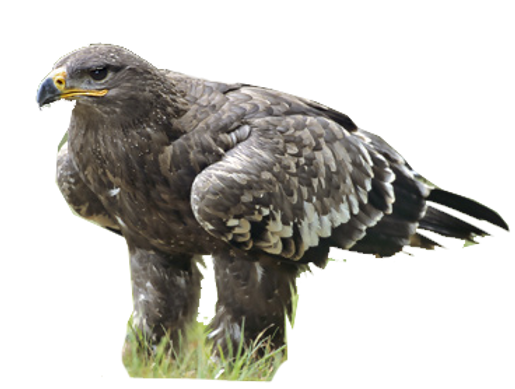 Steppe Eagle.png