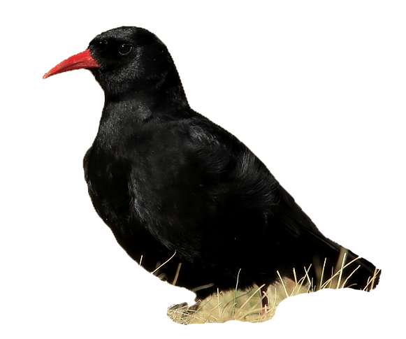Red billed chough.png