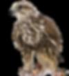 Saker Falcon.png