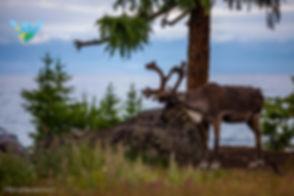 wellspring voyage reindeer.jpg