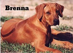 Rhodesian Ridgeback Brenna