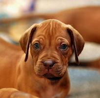 RokiShoals Rhodesian Ridgeback Liver Puppy