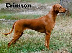 Rhodesian Ridgeback Crimson