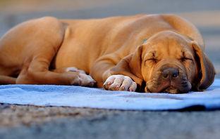 RokiShoals Rhodesian Ridgeback Puppy