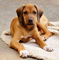 3-month old Rhodesian Puppy