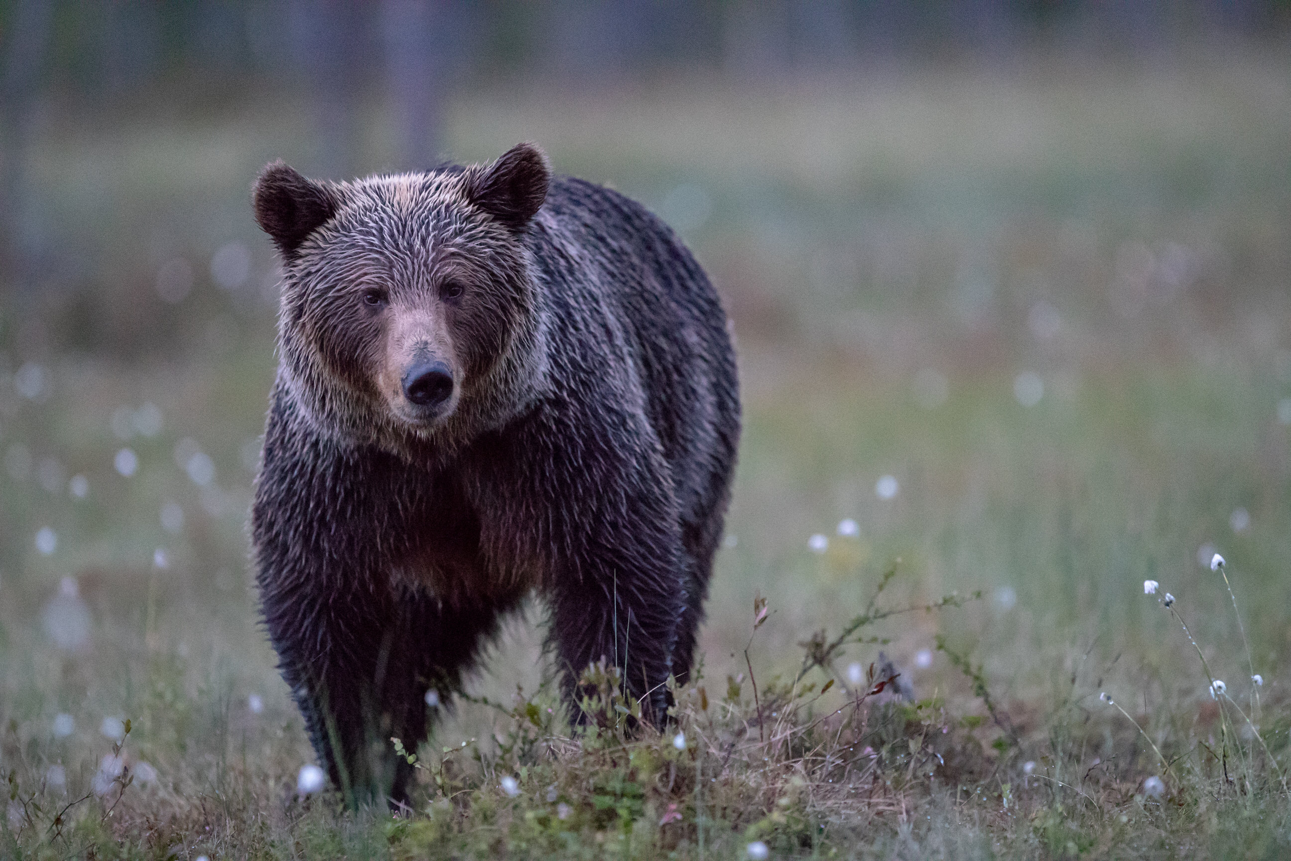Finland - Brown bear