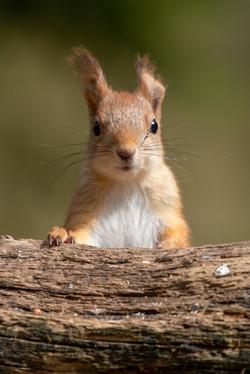 Finland - Red squirrel