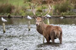 Red deer stag  2017