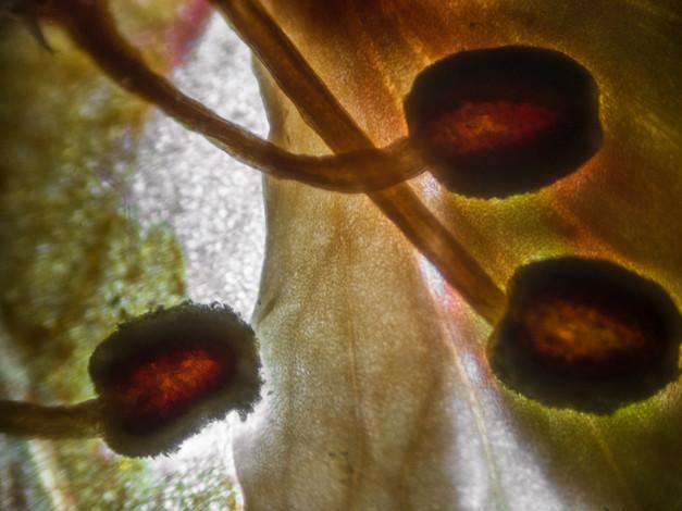 Stamen of Pressed Flower