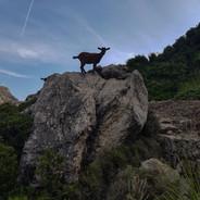 Goat, Mallorca