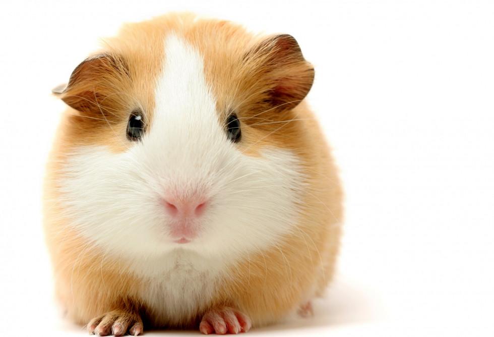 guinea pig.jpeg