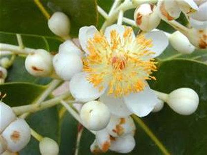 Huile végétale de Calophylle Inophyle - 50ml