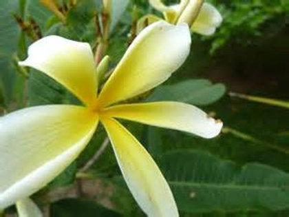 Ylang Ylang complète - 10ml