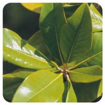 Petit grain citron (combawa) - 10ml