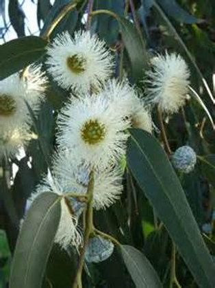 Eucalyptus globulus - 10ml