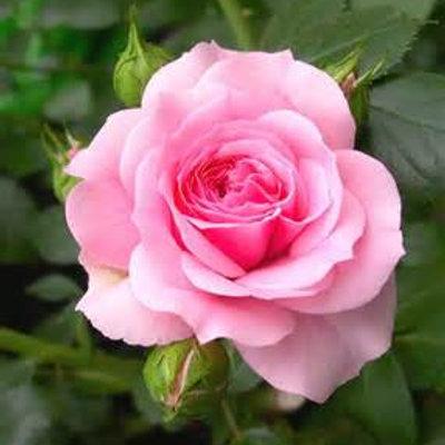 Rose - 1ml