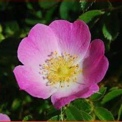 Huile végétale de Rose Musquée vierge bio - 100 ml