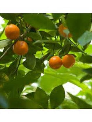 Petitgrain Mandarine - 5ml