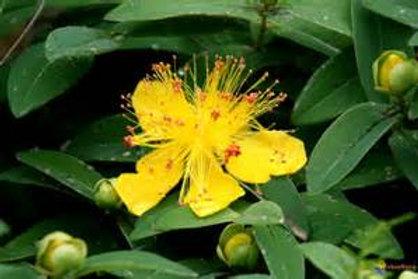Huile végétale de Millepertuis Bio - 100 ml