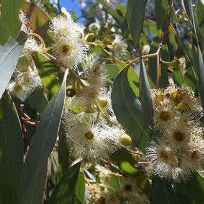 Eucalyptus radiata - 20ml