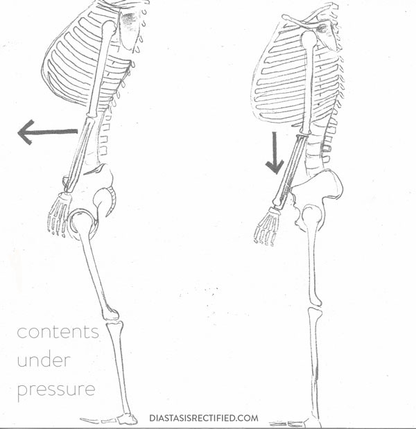 The space in the front body between our ribcage and pelvis is connected only by connective tissue and muscle!