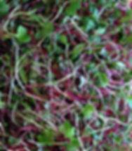 Fresh Oragnic Microgreens