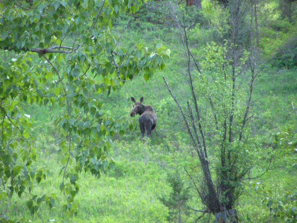 Rock Creek Moose