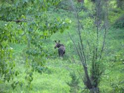 Rock Creek Moose