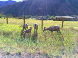 Rock Creek Bighorn Sheep