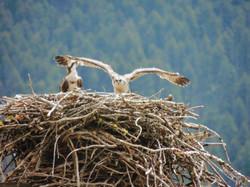 Our local osprey