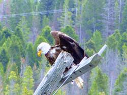 Rock Creek bald eagle