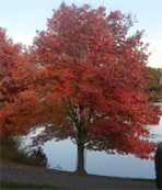 Red Maple tree can be installed by Bailey Construction & Landscape Group in Loganville, Ga