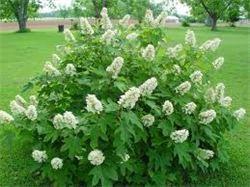 oakleaf hydrangea shrub