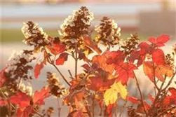 Oakleaf hydrangea leaves in fall