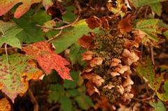 oakleaf hydrangea in fall