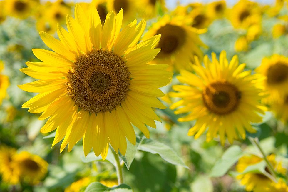 Canva - Sunflowers.jpg
