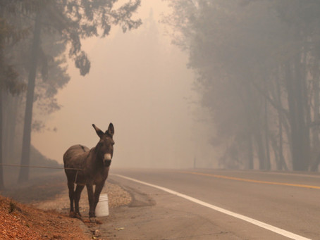 Emergency Wildfire in California- 7542 acres burned and wandering animals need our help!🐾😢