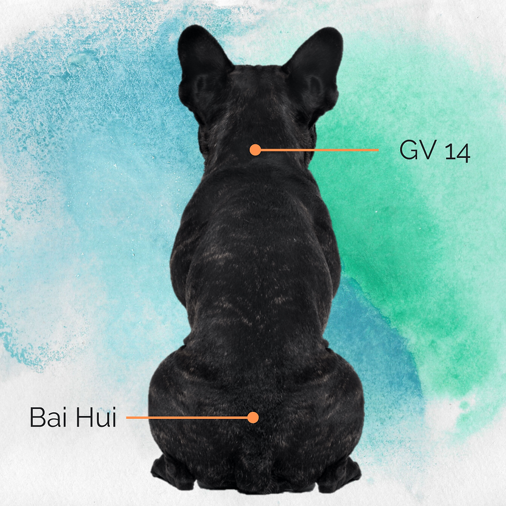 French bulldog showing acupressure points