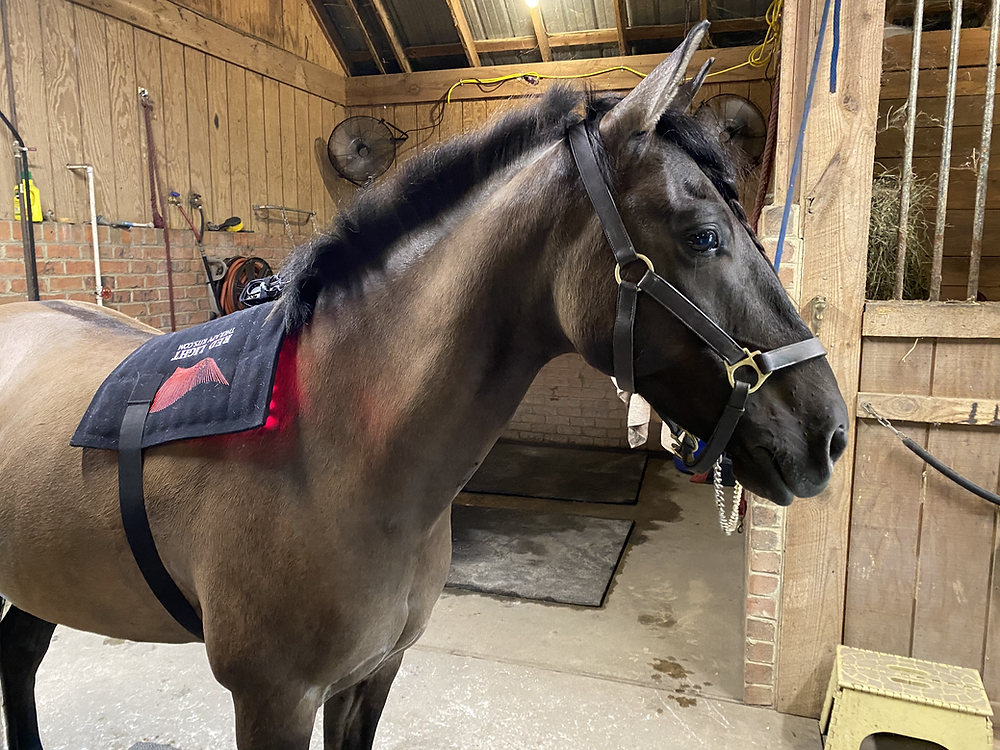 Horse with red light therapy wrap on his back