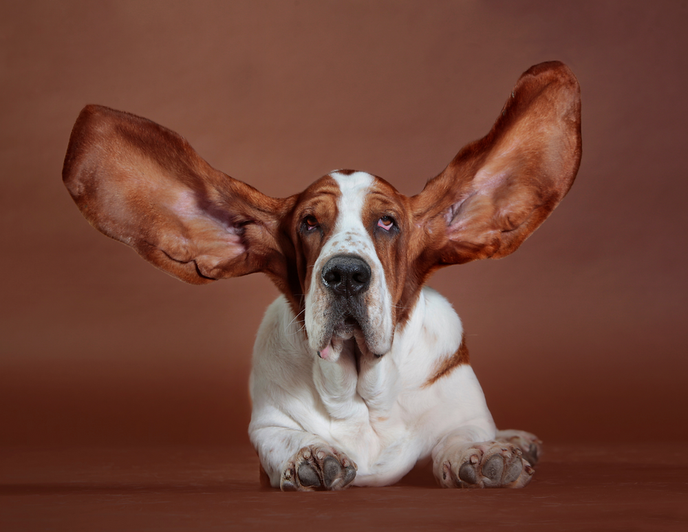 Big eared dog may have ear infection