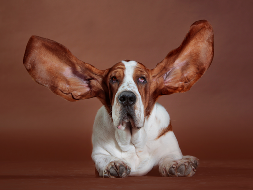 Ear Infections in Dogs – How to Avoid and Clean