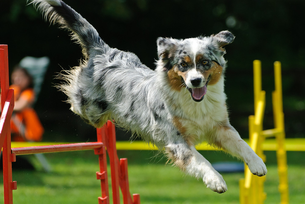 agility dog jumping over hurdle ACL health