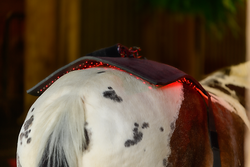 horse receiving red light therapy