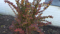 Blooming Barberry