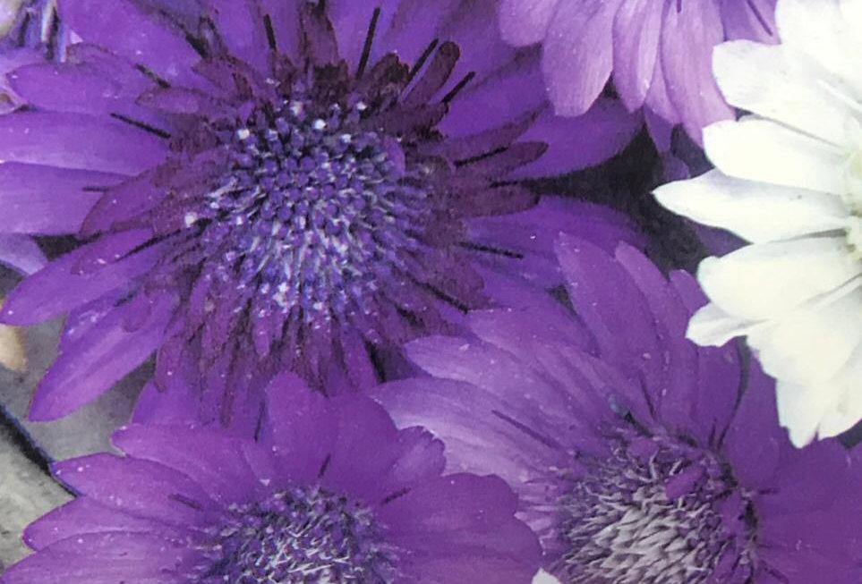 FA129 - Flower Seed   Immortelle