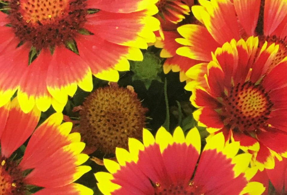 FA075 - Flower Seed   Indian Blanket